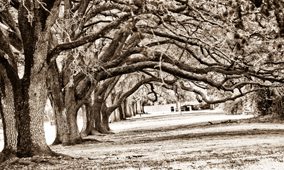 Sugar-Land-Oak-Trees
