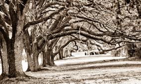 Sugar-Land-Oak-Trees